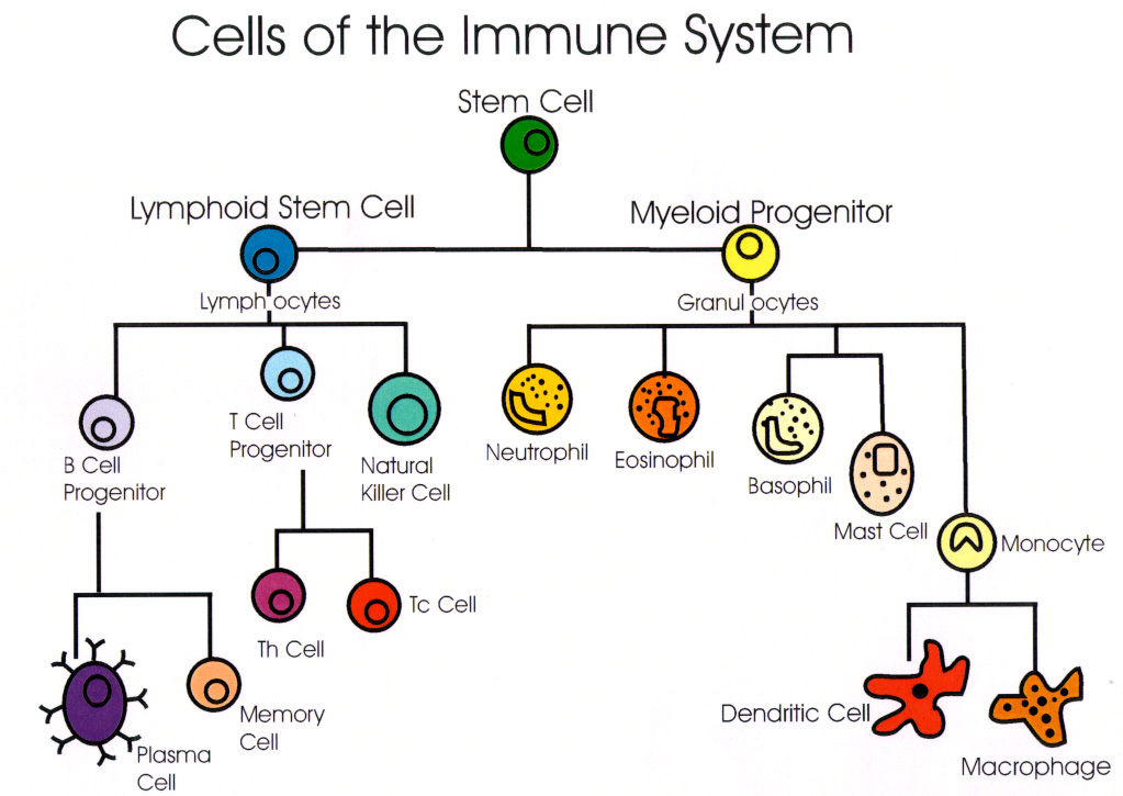 elisa immune system and serum d